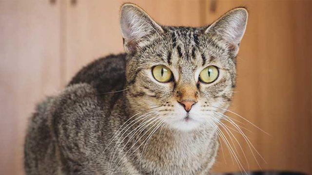Her Köşe Başına Bir Tane: Tekir Kedi