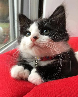 Maskeli Kedi: Smokin kedisi (Tuxedo)